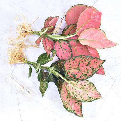 盆栽植物室内如意皇后吉利红客厅办公室花卉水培植物四季净化空气