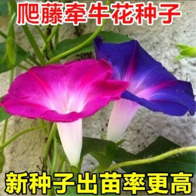 爬藤大牵牛花种子大喇叭花种子矮牵牛花爬藤花卉种子四季播种盆栽