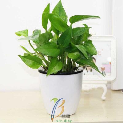 精品吸水盆绿萝多肉花盆花卉植物室内吸除甲醛净化空气绿植盆栽
