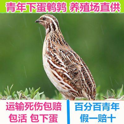 鹌鹑活体天天下蛋鸟青年种鸡繁殖宠物沙维蓝胸巨型养殖鸡包邮包活