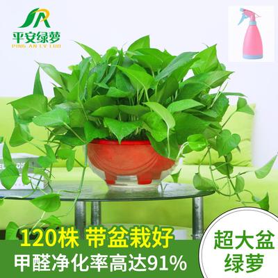 大盆长藤绿萝盆栽吸水绿植 懒人自动吸水盆植物室内净化空气