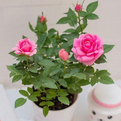 玫瑰花盆栽四季开花欧洲月季果汁阳台庭院花卉植物鲜花带花苞发货