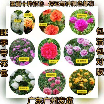 太阳花重瓣十色宿根盆栽阳台庭院花卉 (带花苞发货
