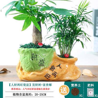 新品发财树盆栽客厅花卉绿植室内招财水培绿色植物桌面办公室小盆