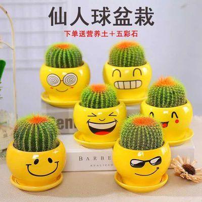 仙人球盆栽绿植办公室防辐射吸甲醛 金冠仙人球开花多款可选包邮
