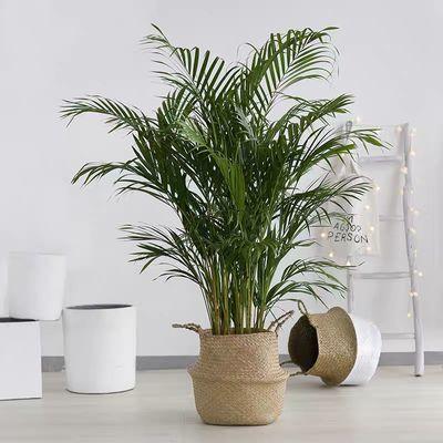 抖音同款散尾葵室内盆栽客厅吸甲醛好养绿植大型植物凤尾竹加湿