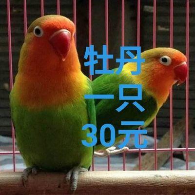棕头三十元一只了牡丹爱情鸟观赏鸟会说话的鸟黄桃 鸟笼 珍珠文鸟
