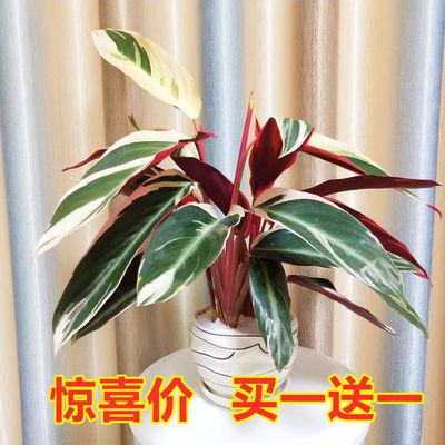 七彩孔雀紫背波浪如意皇后美丽彩虹竹芋盆栽室内水培喜阴观叶花卉