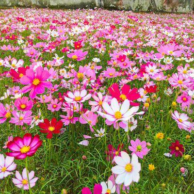 波斯菊格桑花种子护坡野花种子多色四季易种景区观赏花草种籽
