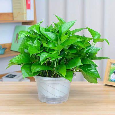 绿萝盆栽绿箩大叶长藤好养室内花卉吸除甲醛净化空气植物绿萝批发