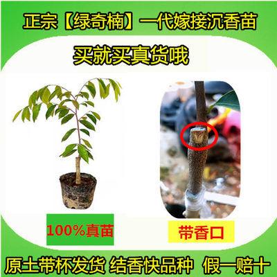 正宗绿奇楠沉香苗嫁接一代糖结油叶子结香快品种带土杯发货发财树