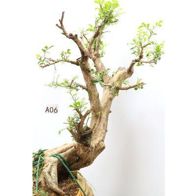 九里香树桩老桩熟桩千里香盆景盆栽造型庭院花木花卉四季常青