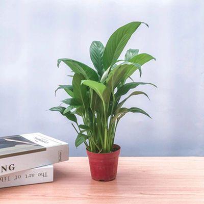 白掌一帆风顺水培土培绿植防辐射除甲醛红掌客厅办公室花卉盆栽