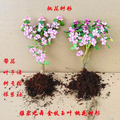 多肉 金枝玉叶 雅乐之舞 景天 防辐射 吸甲醛 盆栽花卉室内绿植