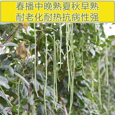 豇长角架菜豆种子耐高温抗逆强耐老化中晚熟不鼓籽无鼠尾莎士比亚