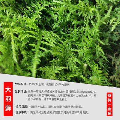 鲜活苔藓白发藓盆景假山装饰水陆缸微景观生态瓶diy植物材料青苔
