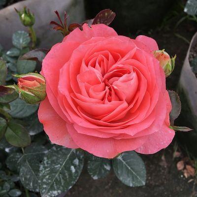 欧洲月季花苗 欧月灌木月季 大花四季开花阳台观花盆栽绿植花卉