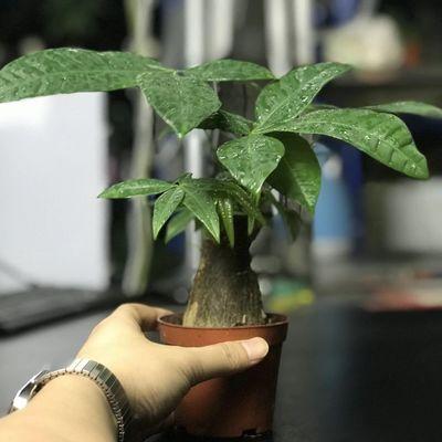 发财树盆栽大棵摇钱树客厅花卉吸甲醛绿植室内招财绿色植物小盆景