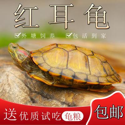 小乌龟活体 大红耳龟宠物龟龟苗黄金龟情侣龟水龟活物招财龟包邮