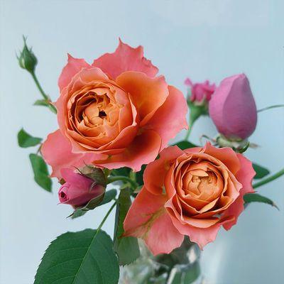 四季开花灌木月季特大花浓香型果汁阳台庭院花卉盆栽蔷薇月季花苗