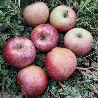 陕西秦冠苹果水果10斤包邮水果新鲜丑苹果秦观粉面非冰糖心红富士