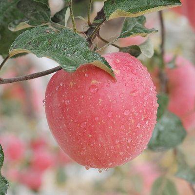 10斤陕西秦冠苹果非红富士苹果冰糖心新鲜水果包邮(果径65-90mm)