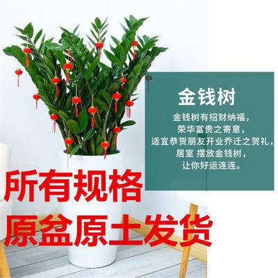 金钱树盆栽发财树大型绿植客厅植物招财摇钱树钱串子四季长青包邮