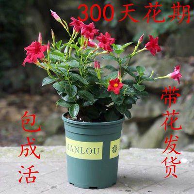 万里飘香藤花双喜藤四季开花攀爬植物盆栽室内庭院阳台花卉易养活