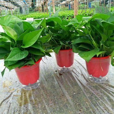 绿萝盆栽花卉批发植物室内吸甲醛绿植水培植物盆栽吊兰长藤大绿箩