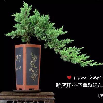 迎客松盆景造型素材苗地柏松柏刺松素材苗悬崖式高档造型盆栽花卉