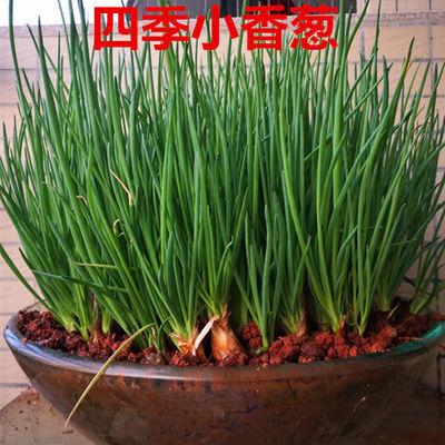 四川农家新鲜红葱头种子盆栽蔬菜种干小葱头火葱种子香葱头包邮