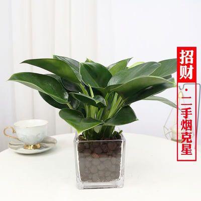 绿公主大叶金钻盆栽吸毒王四季常青室内吸甲醛植物桌面绿植花卉