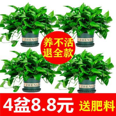 绿萝盆栽室内植物吸甲醛进化空气水培绿植懒人长藤大绿箩花卉批发