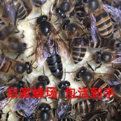 中蜂蜂王活体种王蜂王台交尾开产高产阿坝杂交处女产卵双色土蜂王