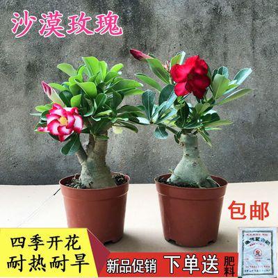 沙漠玫瑰植物盆栽室内客厅花卉四季开花盆栽好养耐干耐旱重瓣绿植