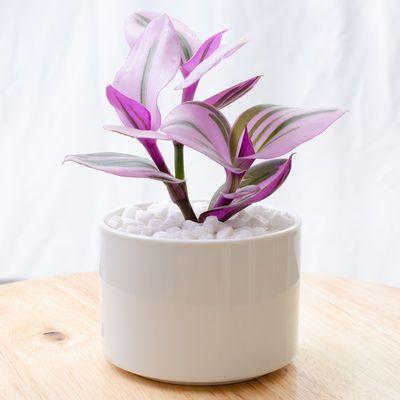 油画婚礼吊兰三色易活室内好养花卉盆栽办公室卧室阳台防辐射绿植