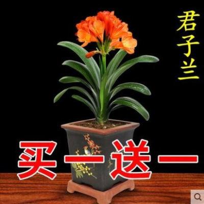 买一送一当年开花南非君子兰花苗君子兰苗室内绿植花卉盆栽苗美观