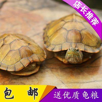 乌龟活体黄金龟小宠物龟龟苗红耳龟情侣龟水龟活物龟长寿龟招财龟