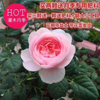 欧洲月季花苗欧月灌木月季大花四季开花阳台观花盆栽绿植花卉