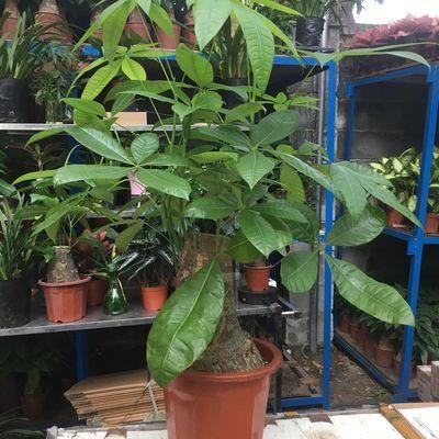 发财树盆景大棵摇钱树客厅花卉吸甲醛绿植室内招财绿色植物盆栽