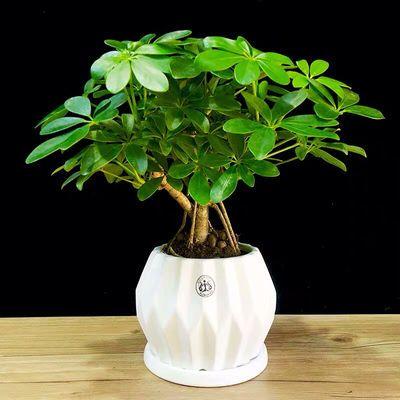 绿乐居盆景造型鸭脚木盆栽七叶莲植物招财树办公室内净化空气绿植