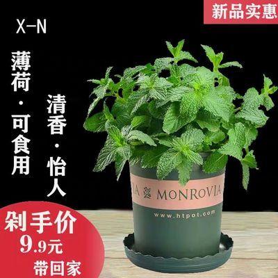 薄荷盆栽可食用室内水养驱蚊防虫植物庭院办公室桌面花卉绿植柠檬