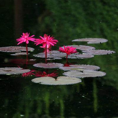 【买一送一】超大睡莲根块荷花种子盆栽水培植物水生根块四季开花