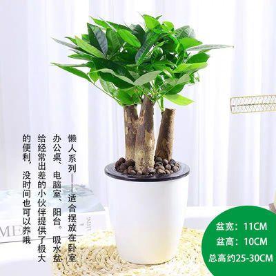 发财树盆栽客厅花卉绿植室内招财水培绿色植物桌面办公室小盆景