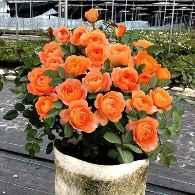 四季开灌木月季特大花浓香果汁阳台庭院花卉植物盆栽蔷薇玫瑰花苗