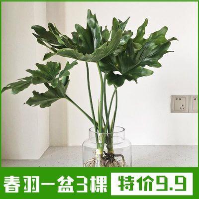 春羽春雨室内植物绿植盆栽吸甲醛净化空气办公盆栽水培盆景花卉