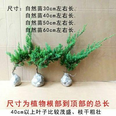 迎客松盆景造型地柏苗观树盆栽植物室内外办公室庭院四季常青绿植