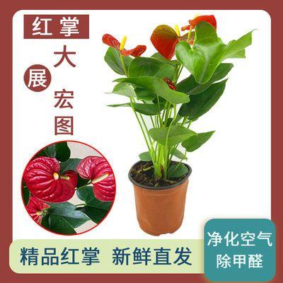 红掌粉掌鸿运当头一帆风顺白掌盆栽客室内绿植花卉净化空气去甲醛