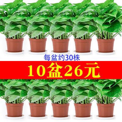绿萝盆栽室内吸除甲醛净化空气水培长藤大绿箩吊兰花卉绿植物包邮