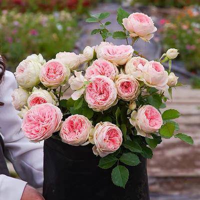 直播专拍四季开灌木月季特大花浓香果汁阳台庭院花卉植物盆栽